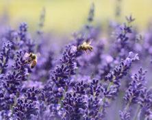Freie Trauung Lavendel